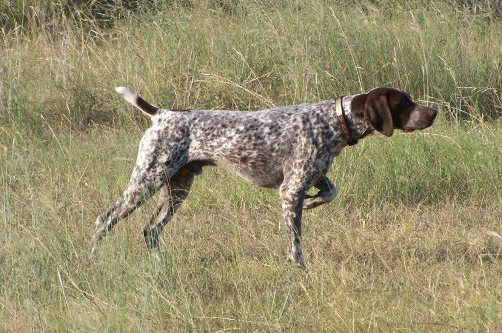 Braco Alemán El Perro De Muestra Más Utilizado En El Mundo