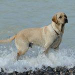 Labrador en la playa